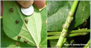 Kudzu bug (courtesy of Jeremy Greene)