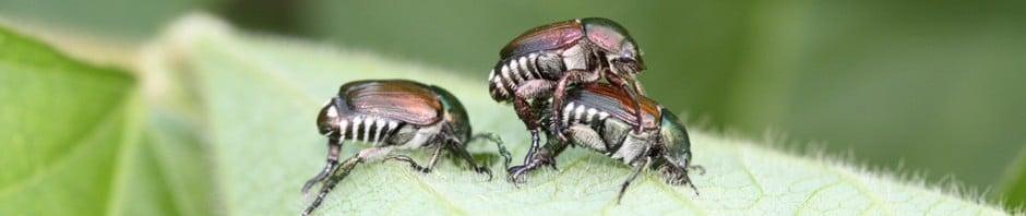 Jap Beetle Soybean Good Web