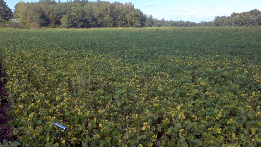 Area of 'yellowing' soybeans that have symptoms that look like potassium deficiency, but are actually due to a high infestation of soybean cyst nematodes