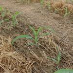 4 leaf (collar) corn - V4 stage