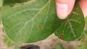 Top side of leaves: frogeye leaf spot (FLS) on left and chemical burn on right