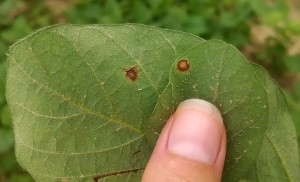 Bottom side of leaves: frogeye leaf spot (FLS) on left and chemical burn on right