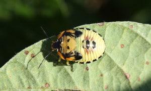 Immature Green Stink Bug