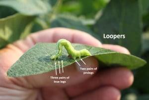 Looper prolegs best