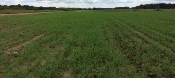 Grain sorghum infested with barnyard grass