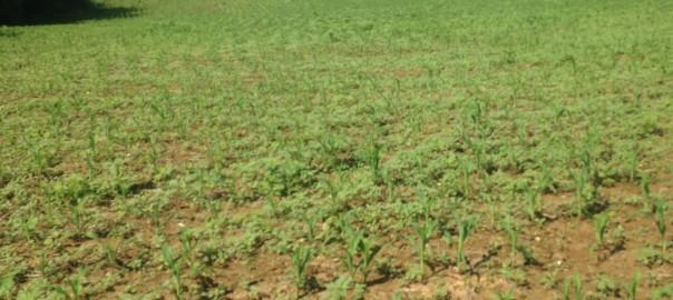 large palemr in large corn field shot