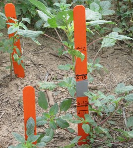 Pigweed Growth rate