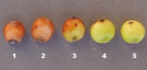 sorghum-kernels