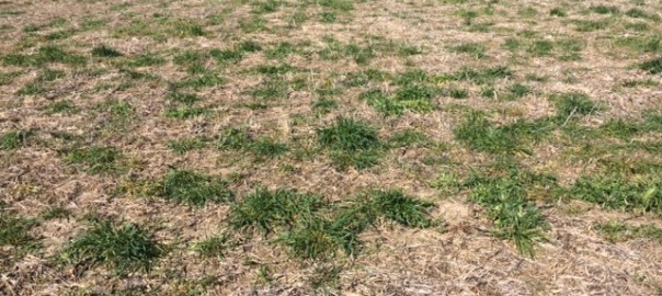 Ryegrass escapes from glyphosate burndown