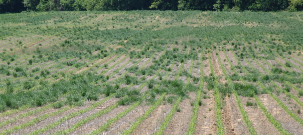 Glyphosate-Resistant Ryegrass Escapes in Corn