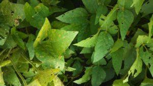 Image 1. Frogeye leaf spot symptoms on 2 different varieties.
