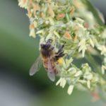 bees-sorghum-17