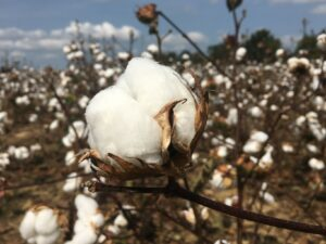 Preliminary 2020 Cotton CST Data released - UT Crops News